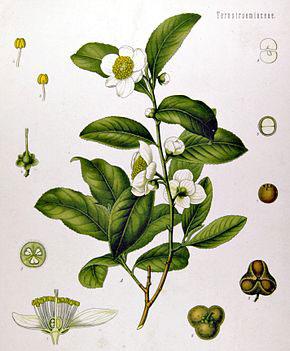 camellia_sinensis_-_kohler