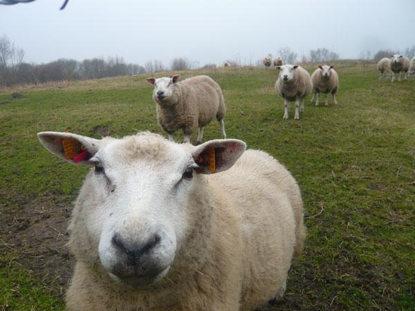 Mouton-champs-près-du-Mouli