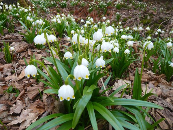 Perce-neige,-Jardin-Botaniq